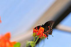 Under Side of a Swallowtail Butterfly Royalty Free Stock Image