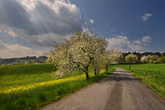 Under the spring sky. Rural road lined with sun-drenched spring blooming cherry trees Stock Photo