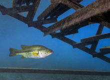 Under The Staircase - Florida Largemouth Bass. A good size Florida Largemouth Bass hides under the Scuba Diver's dock staircase to enter the freshwaters of royalty free stock photo