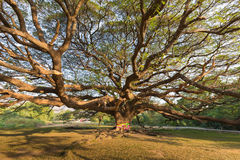 Free Under Stand Alone Big Giant Tree Royalty Free Stock Photography - 92740347