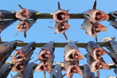 Under the stockfish Royalty Free Stock Images