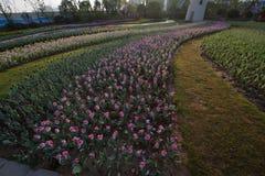 Under the sun tulip field Stock Photography