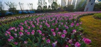 Under the sun tulip field Royalty Free Stock Image
