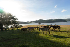Under the Sunlight, wild horses eat the glass by the lake. Wild horse on pink glass fiield, the field near by Lake, in the weeken some people camping here stock images