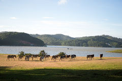 Under the Sunlight, wild horses eat the glass by the lake. Wild horse on pink glass fiield, the field near by Lake, in the weeken some people camping here Royalty Free Stock Photography