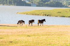 Under the Sunlight, wild horses eat the glass by the lake. Wild horse on pink glass fiield, the field near by Lake, in the weeken some people camping here stock photo