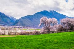 Free Under The Snow Mountain, Peach Blossoms Stock Photography - 114390442