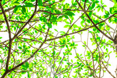 Under tree branch with green leaf view Royalty Free Stock Image