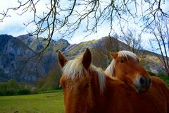 Horses in love royalty free stock photography