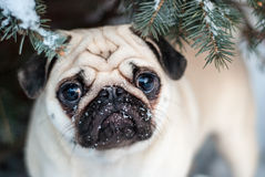 Under the tree. Pug in snow. Muzzle pug. Royalty Free Stock Images