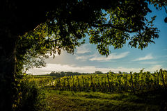 Under the tree. Vineyard in Germeny. Oestrich-Winkel Royalty Free Stock Photos