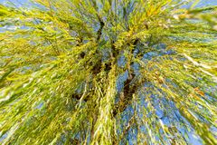 Weeping willow under view in japan. Under the tree of Weeping willow Royalty Free Stock Images