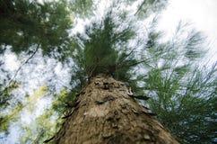 Under the trunk of sea oak tree & x28;Casuarina equisetifolia& x29; park Royalty Free Stock Photography
