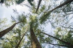 Under the trunk of sea oak tree & x28;Casuarina equisetifolia& x29; park Stock Photos