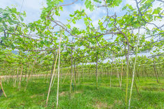 The under view of grape farm Royalty Free Stock Photos