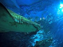 Under View of Two Sand Tiger Shark Under The Sea. Underwater Scene of Two Sand Tiger Shark Under The Sea stock photos