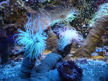 View of some spectacular sea anemones. Under the water, capture of the beautiful dance of some sea anemones Royalty Free Stock Image