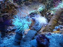 View of some spectacular sea anemones. Under the water, capture of the beautiful dance of some sea anemones stock image