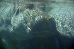 Under water hippopotamus Stock Image