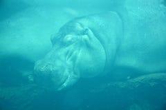 Under water hippopotamus Royalty Free Stock Images