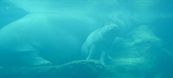 Under water hippopotamus royalty free stock images