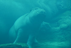 Under water hippopotamus. Hippopotamus amphibius, or hippo, from the ancient Greek for `river horse` , is a large, mostly herbivorous mammal in sub-Saharan Royalty Free Stock Image