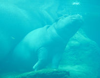 Under water hippopotamus. Hippopotamus amphibius, or hippo, from the ancient Greek for `river horse` , is a large, mostly herbivorous mammal in sub-Saharan Royalty Free Stock Photography