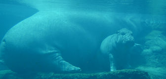 Under water hippopotamus royalty free stock photos