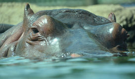 Under water hippopotamus royalty free stock photography