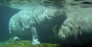 Under water hippopotamus Hippopotamus amphibius royalty free stock image