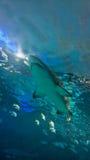 Under water shark Stock Photos