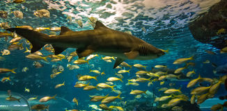Under water shark Stock Photography