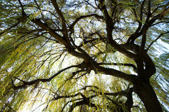 Under a weeping willow. Bole and branches of a weeping willow in autumn Royalty Free Stock Photo