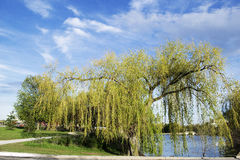 Under The Weeping Willow. Weeping Willow in Chinguacousy Park stock photo