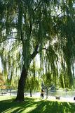 Under a Willow Tree Stock Photography