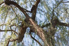 Under the willow tree. Branches stock image