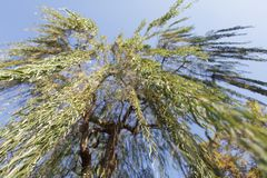 Under the willow tree. Branches royalty free stock images