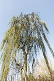 Under the willow tree branches. Under the willow tree royalty free stock image
