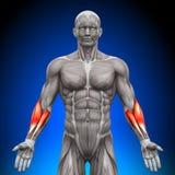 Underarmen - anatomimuskler vektor illustrationer