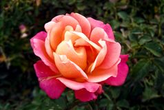 Underbar blandad färgrik ros royaltyfria bilder