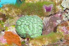 Underbar färgrik korall Royaltyfri Fotografi