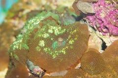 Underbar färgrik korall Fotografering för Bildbyråer