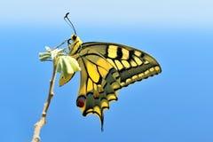 underbar fjäril Arkivfoto