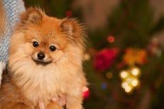 Underbar hund framme av en julgran med perfekt bokeh Fotografering för Bildbyråer
