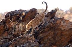 Underbar leopard i Namibia Arkivfoton