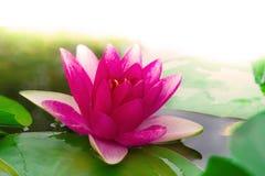 Underbar lotusblomma Arkivfoto