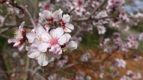 Underbar mandelblomning i våren, närbild, Algarve, Portugal Arkivfoton