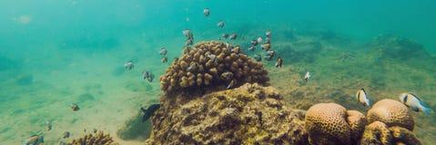 Underbar och härlig undervattens- värld med koraller och det tropiska fiskBANRET, långt format royaltyfri bild