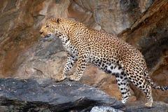 Underbar och stolt leopard i Namibia royaltyfri foto