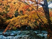 Underbar palmatum för acer för träd för japansk lönn med höstfärg arkivbild